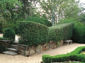 The tea hedge, on the 4th terrace above the God topiary is kept sheared. this planting was put in by Mrs. Alice Callaway and has remained healthy and handsome for many years.