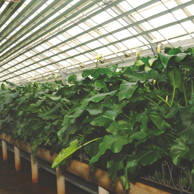 Calla Lilies: A Callaway Tradition